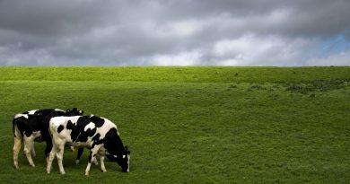 cows-1386869